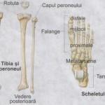 Tibia peroneul si piciorul