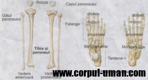 Scheletul corpului uman - Tibia peroneul si piciorul
