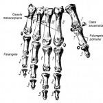 Oasele metacarpiene si falangele