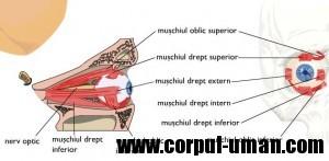 Muschii globului ocular