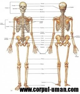 Scheletul uman - componente
