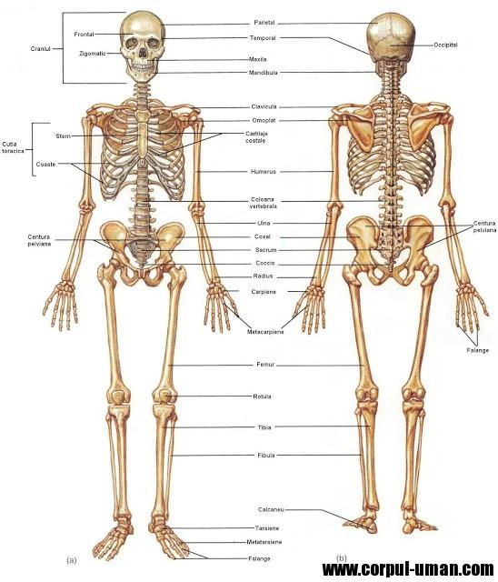 Scheletul uman - parti componente - Corpul uman