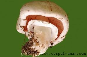 Ciuperca de balegar