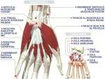 Imagini Mana – Anatomia mainii