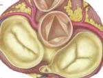 Valvele cardiace – Organe Interne Anatomie