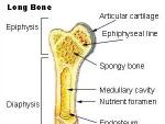Formarea osului
