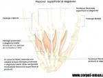 Tendoanele degetului inelar sectionate