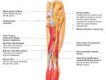 Nervii membrului inferior