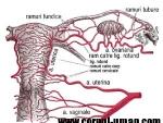 Ovarul – vascularizatia ovarului