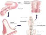 Adaptari la nivelul intestinului subtire