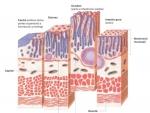 Anatomia microscopica a intestinului