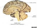 Imagini creierul uman