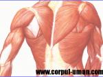 Tesutul muscular – clasificare, structura si functii