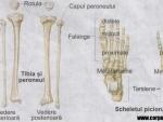 Scheletul corpului uman – imagini si functii