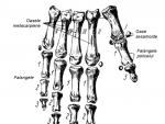Oasele mainii – structura si imagini
