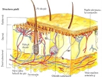 Organul tactil