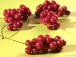 Schizandra – beneficii