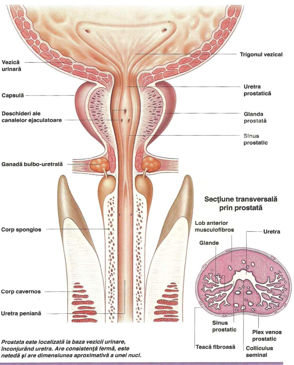 Anatomie urogenital adenom de prostata imagini