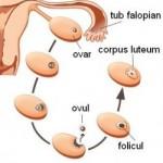 Fiziologia ovarului