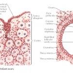 Structura ovarului