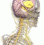 Sistemul nervos vegetativ