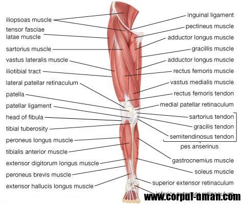 Muschii membrelor inferioare fata