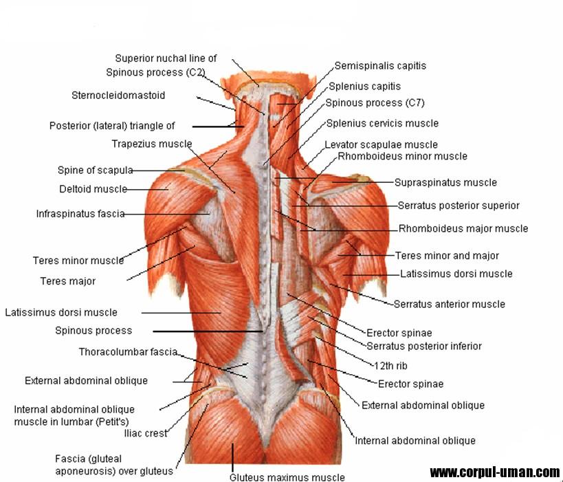 Muschii spatelui