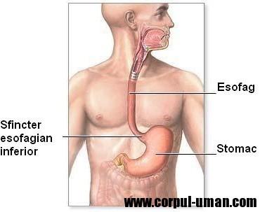 Rolul prostatei în corpul omenesc